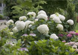 Hydrangea arboresense 'Incrediball'
